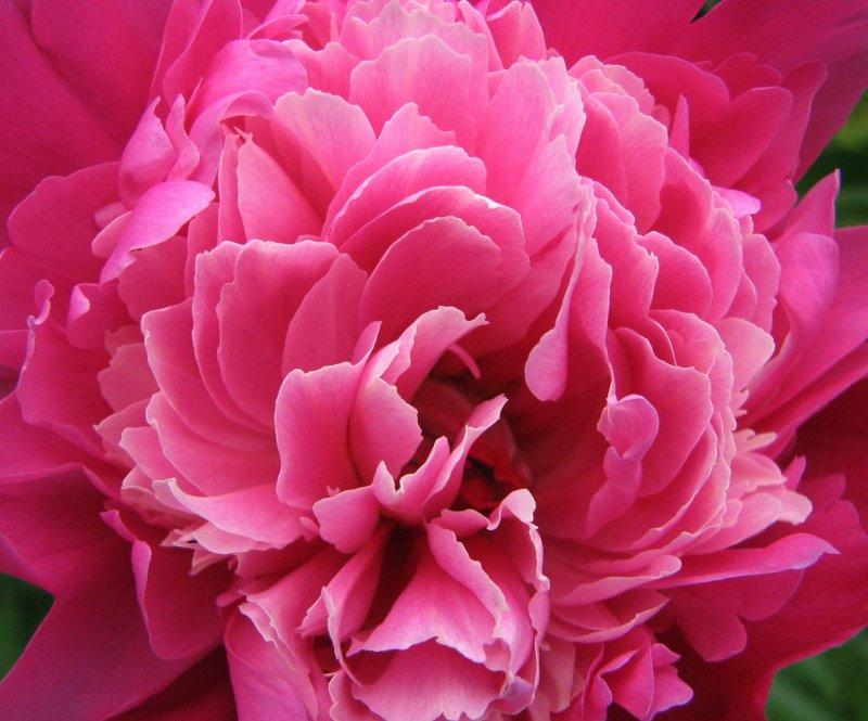 Цветок достатка фото