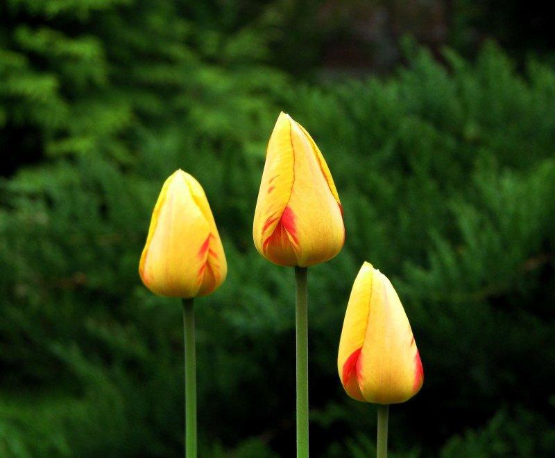 Просто на даче, просто тюльпаны...