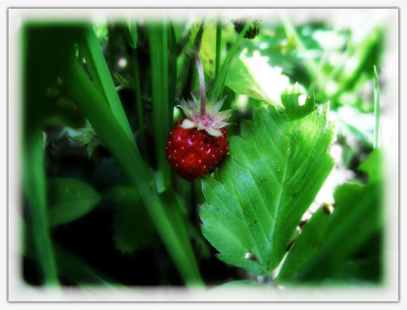земляника-ягода