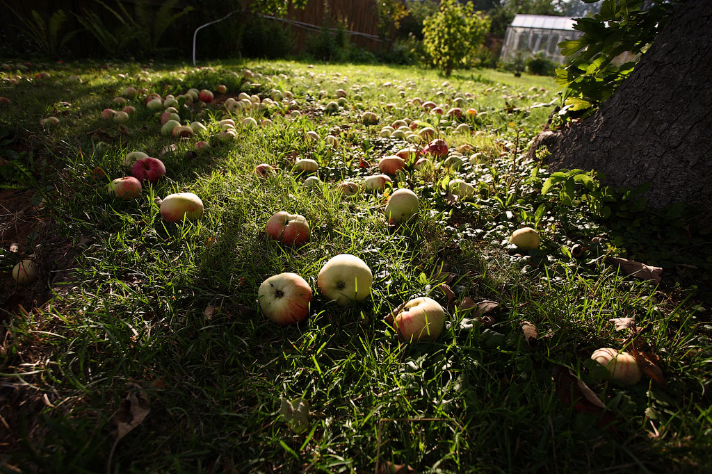 Яблоки в траве