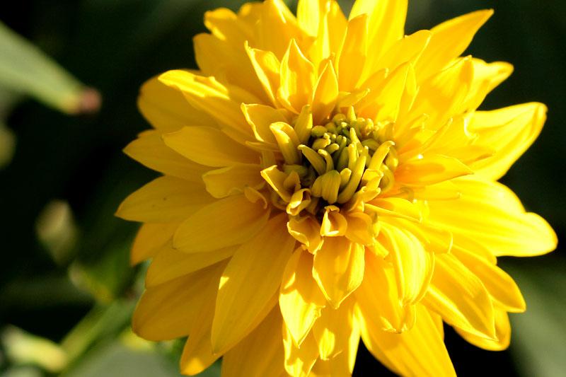 Шар золотой шар цветок золотой шар