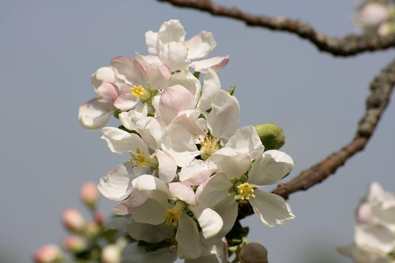 Цветы яблони цветы яблони цветы
