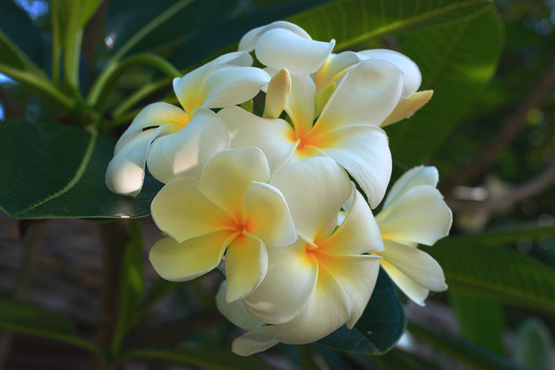 Цветочки в Таиланде