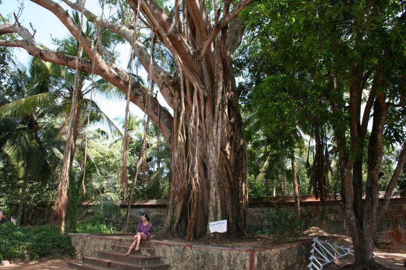 по легенде под этим деревом сидел Будда и здесь собирались его ученики...