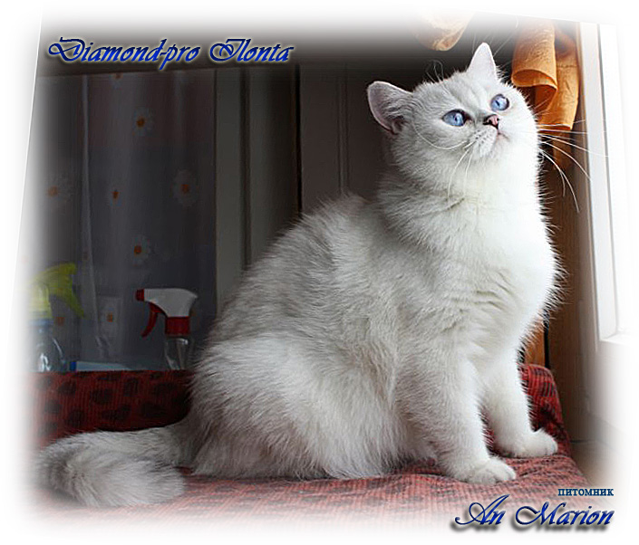 британские котята окрас шиншилла