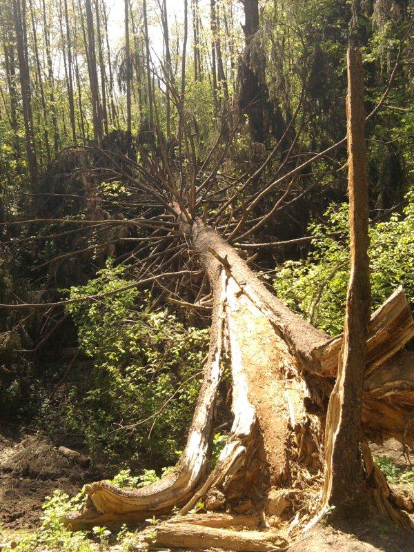Дерево отжило своё