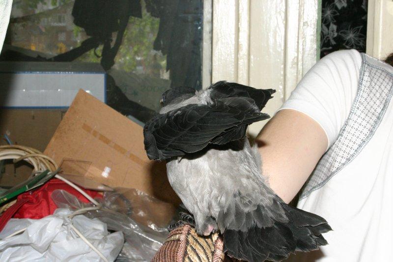 Ворона полудомашняя, май 2010