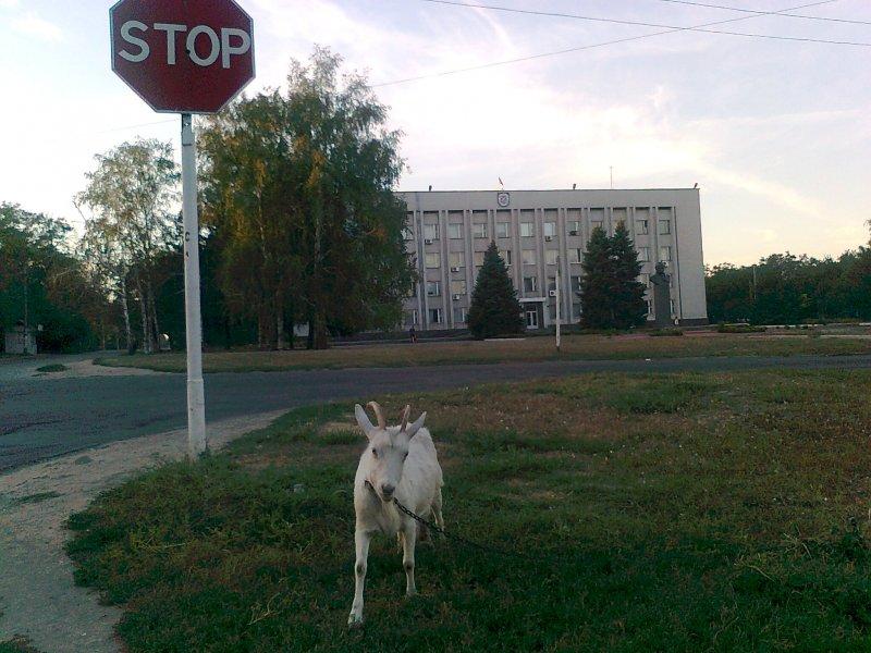 Остановись перед козой!