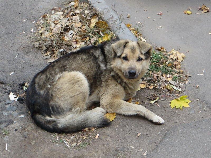 Городской пес