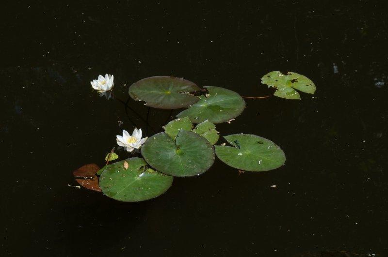 Лилии в черной воде