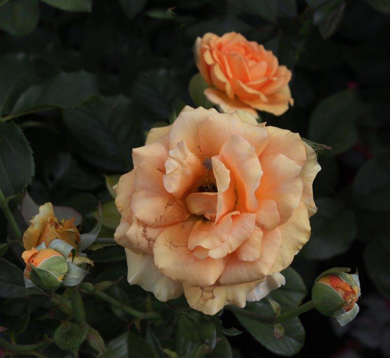 Треугольник роз