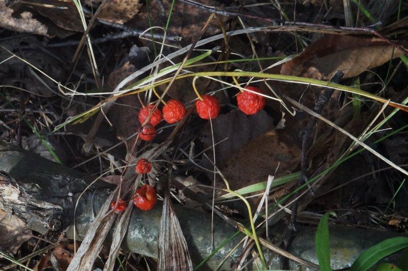 Ландыш октябрьский (Красный Октябрь)
