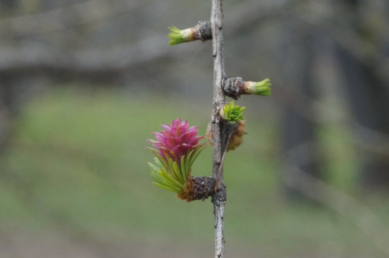 Весною шишка расцветает