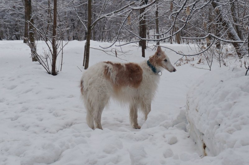 Борзая на снегу