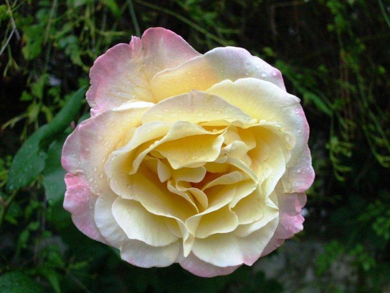 роза утром