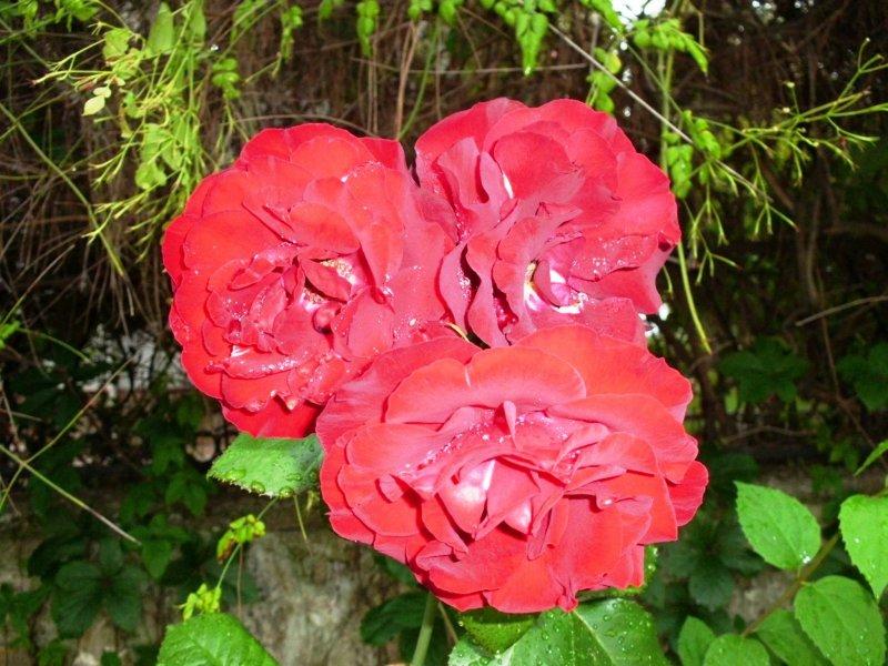 три алые розы