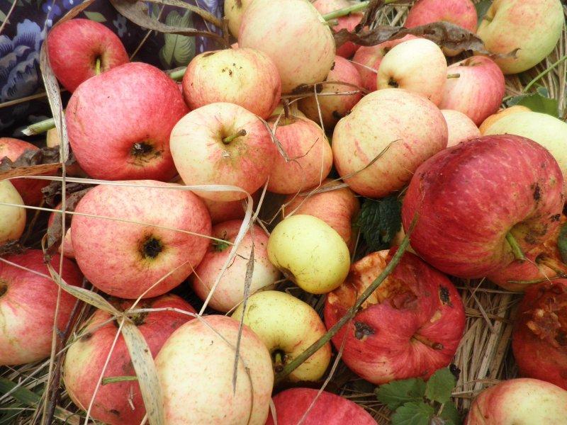 вкусны яблоки