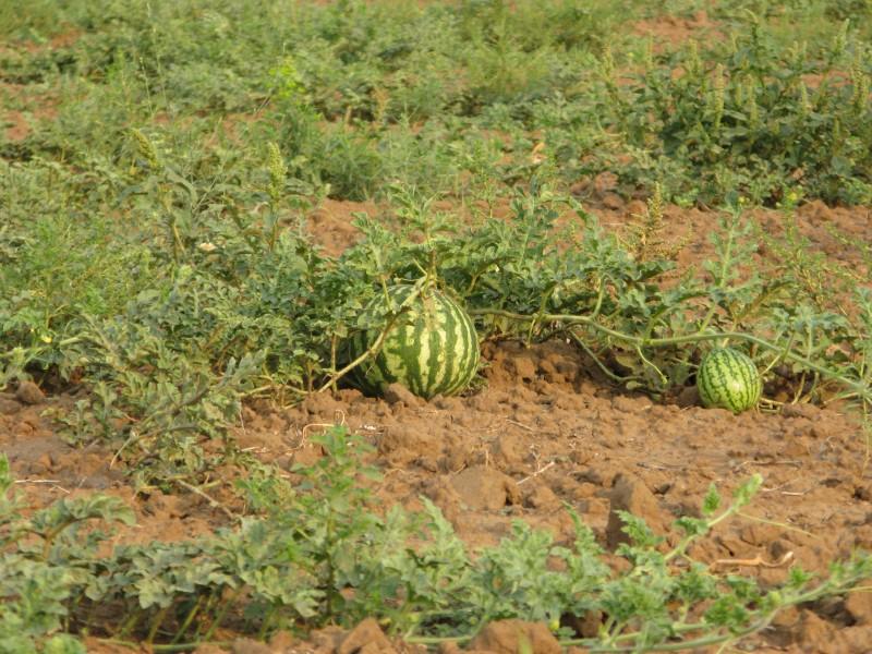 поле арбузов