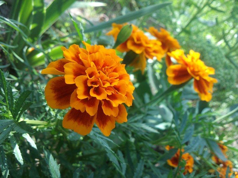 цветок бархатцы