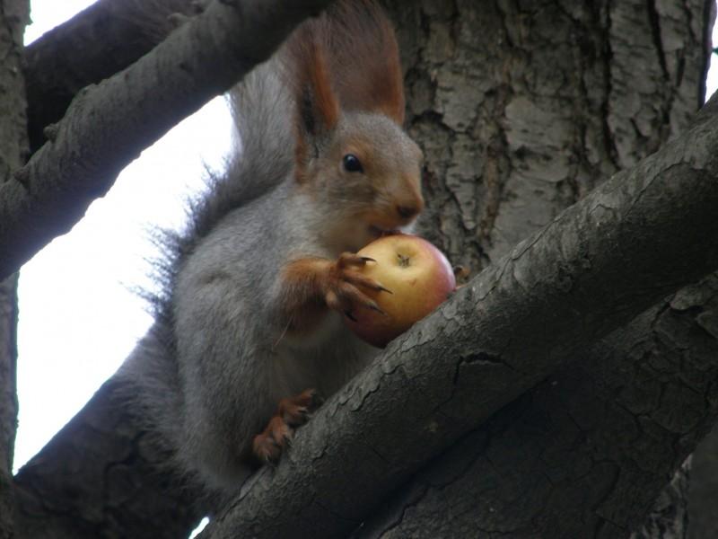 Яблочком угостили