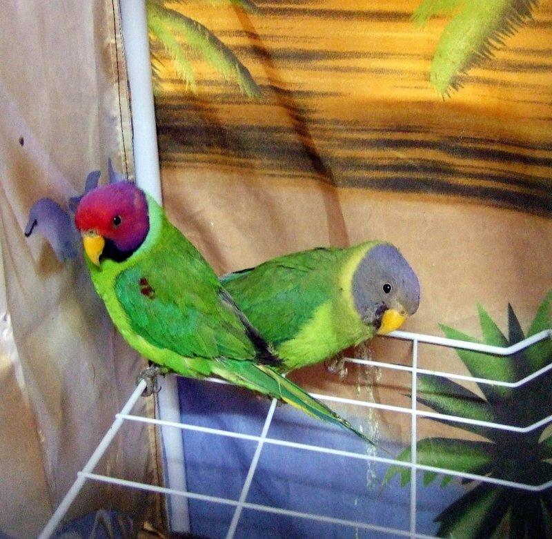 сливоголовые попугаи