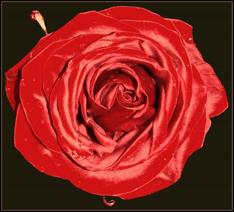 """Живой шелк...или """"Атласная роза!"""""""