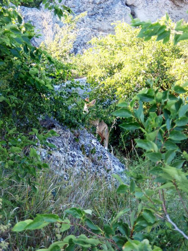 Казантипский лисенок