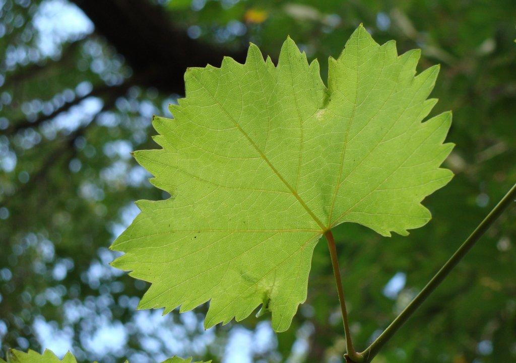 Игра солнечного света в виноградных листьях