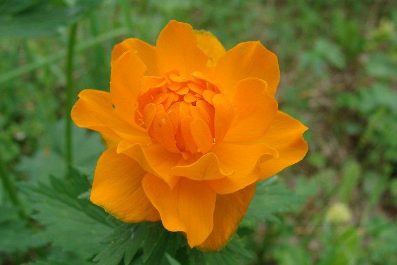 Жарки любимые лесные цветы в хакасии
