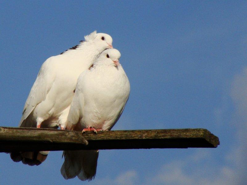 голуби целуются