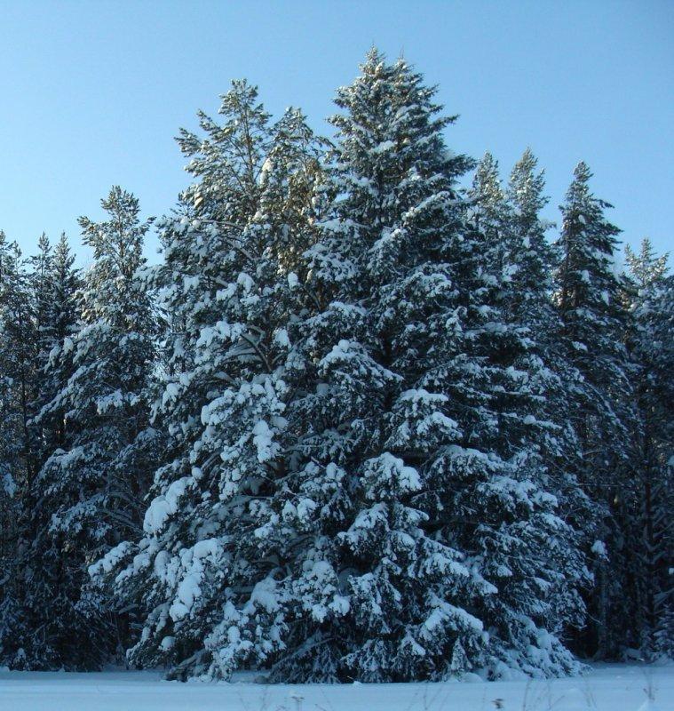 Лес зимний лес зимний лес солнечный