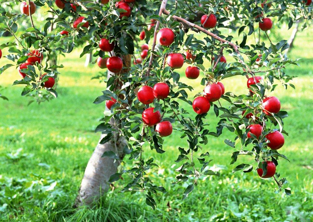 в яблоневвом саду