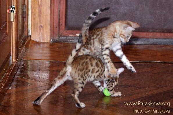 Бенгальские котята играют в футбол