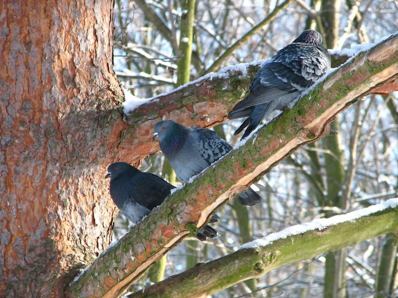 Три замерзших голубка)