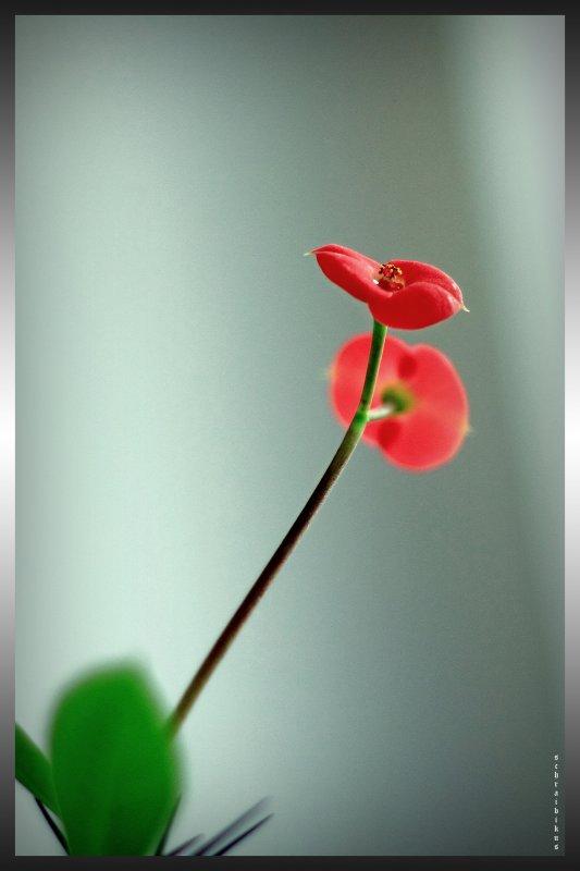 цветет среди зимы
