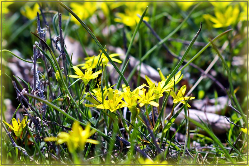 весенние желторотики