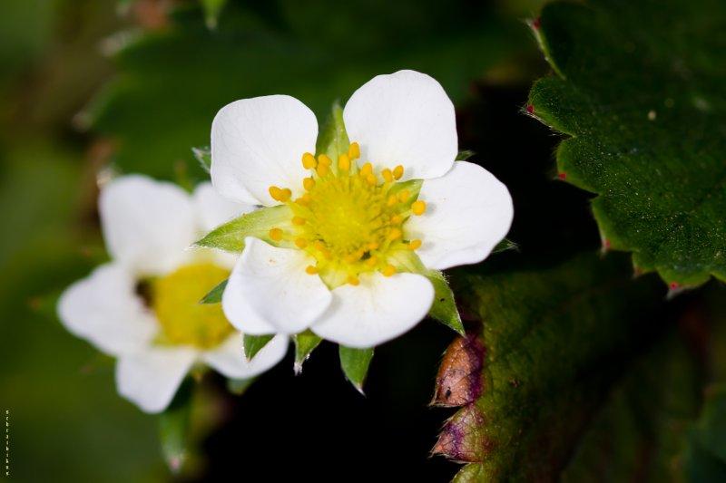 цветёт клубничка