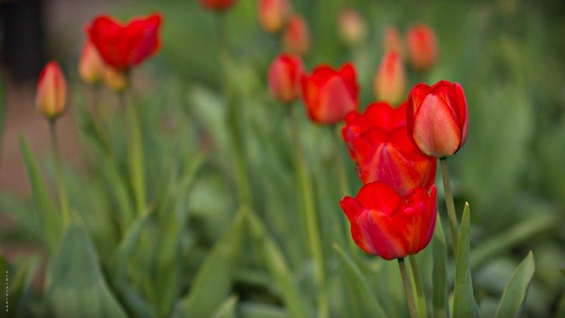 поляна тюльпан