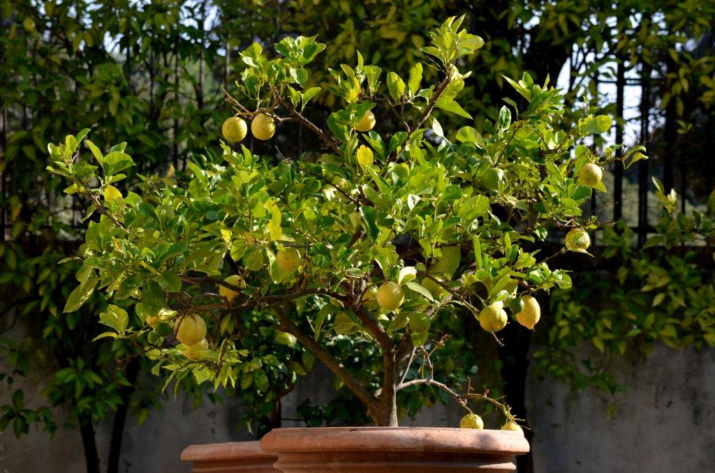 Для Freshta75 - горшочек с лимонами с виллы Боргезе