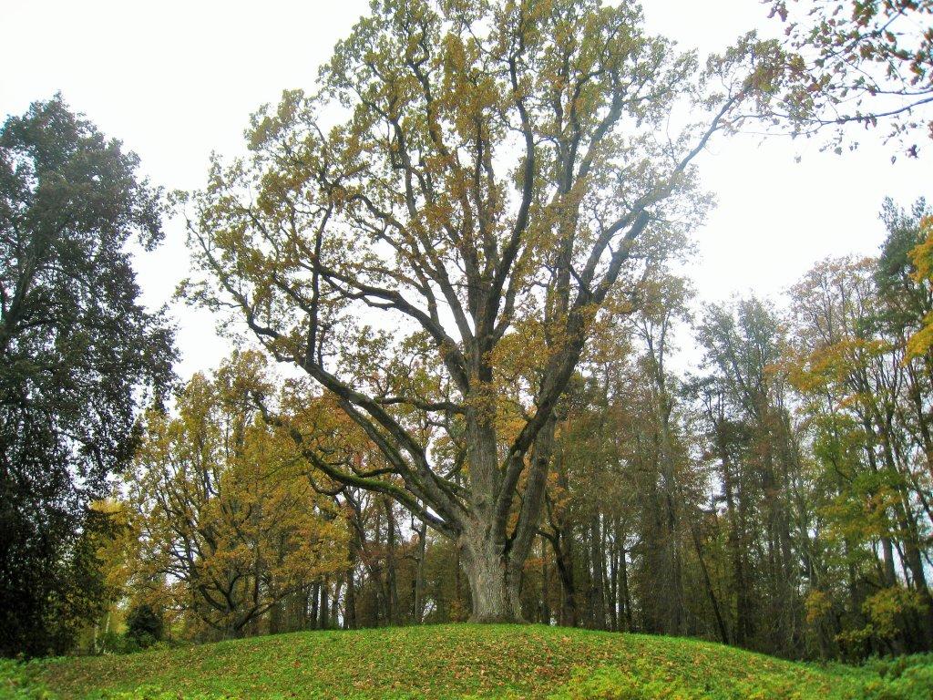 """""""дуб уединЕнный"""",  одно из самых старых деревьев парка, высаженное более 300 лет назад на древнем могильном кургане.."""