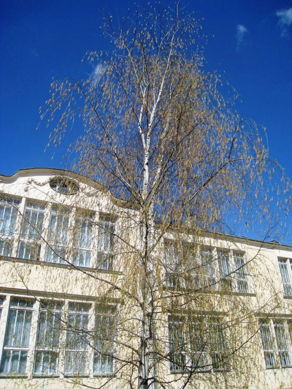 весенняя березка на фоне старой школы